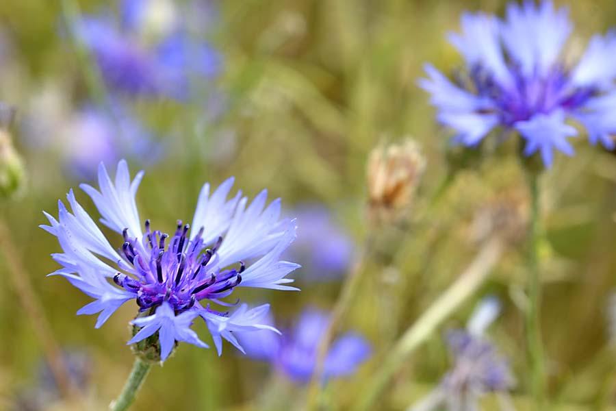 Kornblume im Bio-Getreidefeld (Foto: Dominic Menzler, dmkommunikation.de)